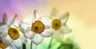 Narcissenbloemen op een gekleurde achtergrond Royalty-vrije Stock Foto's