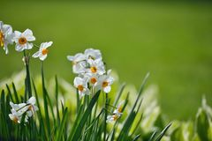 Narcissenpapyraceus, Paperwhite-Bloemen Royalty-vrije Stock Foto's