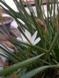 Narcissenpoeticus stock afbeelding