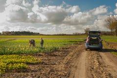 Narcisses di raccolto del figlio e del padre in un flowerfield, vicino all'automobile con Fotografie Stock