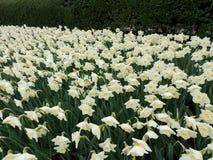 Narcissi весны Central Park Нью-Йорка Стоковая Фотография