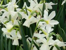 Narcissi весны Central Park Нью-Йорка Стоковая Фотография RF