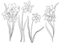 Narcissi flowers. Set of outline flowers. Royalty Free Stock Photo