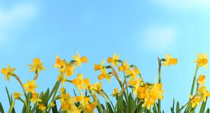 Narcissi in front of blue sky. Line of colorful narcissi easter holidays in front of blue sky stock image