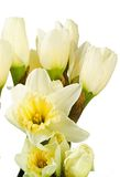 Narcissi isolated on white. Path included Royalty Free Stock Images