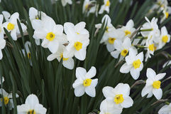 Narcissi Royalty Free Stock Images