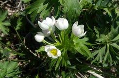 Narcissiflora Anemone Στοκ φωτογραφία με δικαίωμα ελεύθερης χρήσης