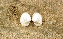 The narcissist kiss of clam. Clam open on the beach Stock Photo