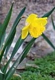 Narcissus Narcissus är ett släkte av monocotyledons i den Amarylidaceae familjen fotografering för bildbyråer