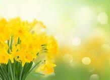 Narcissus весны желтый стоковые изображения rf