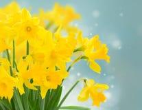 Narcissus весны желтый стоковые фотографии rf