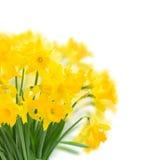 Narcissus весны желтый стоковое фото rf