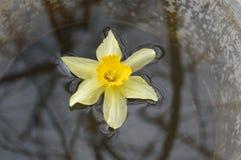Narcissus в воде Стоковые Фотографии RF