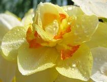 Narcissus в падениях дождя Стоковое Изображение