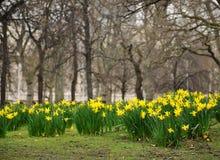 Narcissus в предыдущей весне Стоковое Изображение RF
