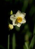 Narcissus зимы Стоковое Изображение RF