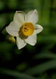 Narcissus зимы Стоковая Фотография RF