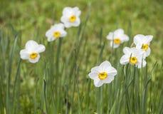 Narcissus 'Ла Riante' Стоковое Изображение RF