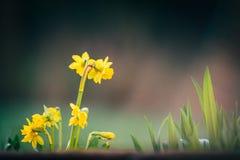 Narcissus цветет предпосылка весны стоковые изображения