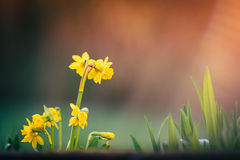 Narcissus цветет предпосылка весны стоковая фотография
