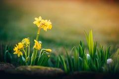 Narcissus цветет предпосылка весны стоковое фото