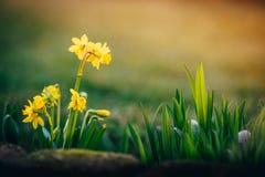 Narcissus цветет предпосылка весны стоковое фото rf