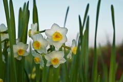 narcissus цветка Стоковые Изображения RF