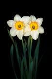 2 narcissus цветков на черной предпосылке Стоковое Изображение