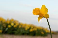 Сиротливый Narcissus стоковая фотография