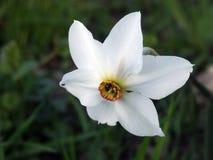 Narcissus #01 Stock Photo
