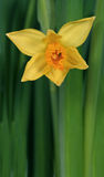 Narcissus 02 Royalty Free Stock Photography