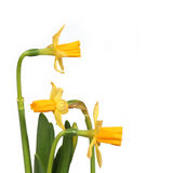 Narcissus 03 Stock Photography