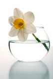 Narcissus Stock Photos