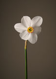 Narcissus. Flower front-view with gray background Stock Photo