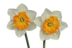 Narcissus 12 Стоковые Фотографии RF