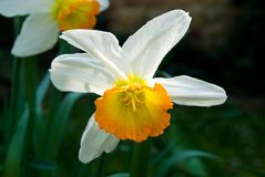 Narcissus. On sun in the garden Stock Images