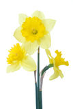 Narcissus. Bouquet of yellow narcissus on the white Royalty Free Stock Photos