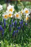 Narcissus. The blooming narcissus on a flower-bed Stock Image
