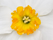 Narcissus. Close-up of the centre of a daffodil in Spring stock photography