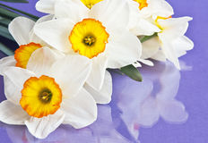 Narcissus Stock Image