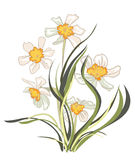 Narcissus. On white,  illustration Stock Image
