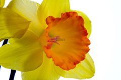 Narcissus. Flower isolated on white stock photo