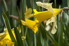 The narcissus Stock Image