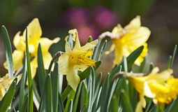 The narcissus Stock Photography