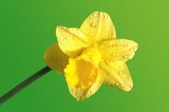 Narcissus. Стоковые Изображения