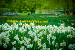 Narcissus. White narcissus in a beautiful garden in Germany Royalty Free Stock Photo