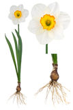 Narcissus Royalty Free Stock Images