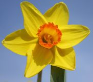 A Narcissus. On a sunny day Stock Images