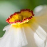 Narcissus. A side view of a white narcissus royalty free stock image