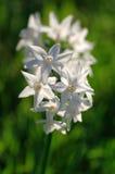 Narcissus Стоковая Фотография